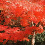 筑前秋月紅葉まつり&秋の恵み大収穫祭2018